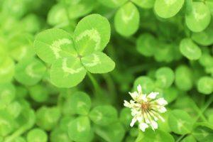 三つ葉のクローバー/花言葉・花の画像・種類・英語で言うと ...