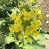 黄色い春の花[菜の花]菜の花畑歌詞・花言葉・画像・英語・特徴まとめ