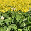 春の野の花vol.3-草花の名前と画像・花言葉と由来・あぜ道に咲く植物