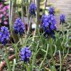 ムスカリの花言葉と英語では何?ブルー(青い)のまるい可愛い花の画像