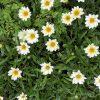 ガザニアの花言葉と由来・種類と育て方・白と黄色の花の画像・英語で何