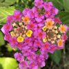 ランタナの花/種類と育て方は?花言葉や画像・実や種!花期はいつ?