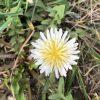 シロバナタンポポの花言葉と由来・珍しい花の特徴・画像・英語で何?