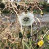 たんぽぽ綿毛(わたげ)の時期・季節と花言葉-由来-特徴と花占い・英語