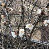 梅の花/梅・種類【飛梅(大宰府)】花言葉・開花の季節・時期・英語で?