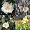 白い花の名前と咲く木・頃(冬)・画像と花言葉・白色とは?英語で何?
