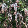 アセビ(馬酔木)の花と実と毒性・花言葉と特徴について・時期・育て方